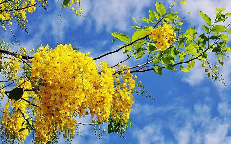 Unique Festival of yellow flowers in Gia Lai